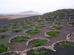 Lanzarote. La Geria. Cultivo de vides regadas con el rocío de la mañana.