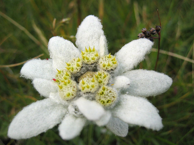 Edelweiss_Leontopodium_alpinum