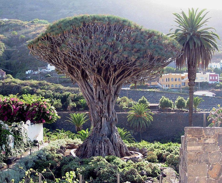 Drago Milenario de Icod de los Vinos (Tenerife), por Xavigivax