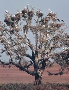 Alcornoque llamado La Pajarera con nidos de garcetas y espátulas. Estación Biológica de Doñana, Huelva. Por Cillas