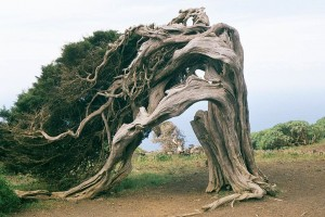 Sabina de El Hierro, doblada por el viento pero sobreviviendo. Por Eckhard Pecher