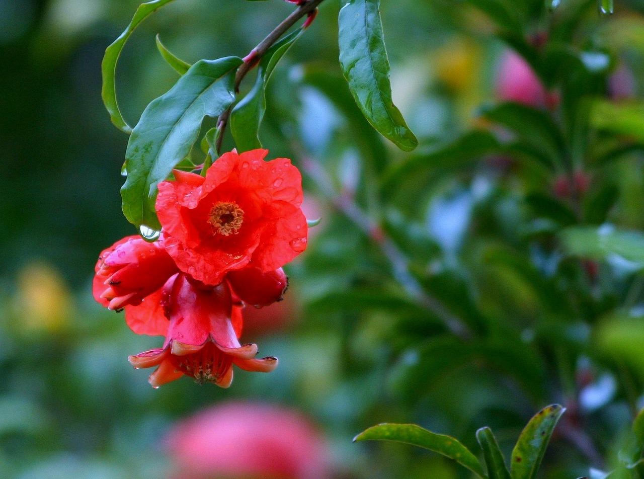 Flor del granado.