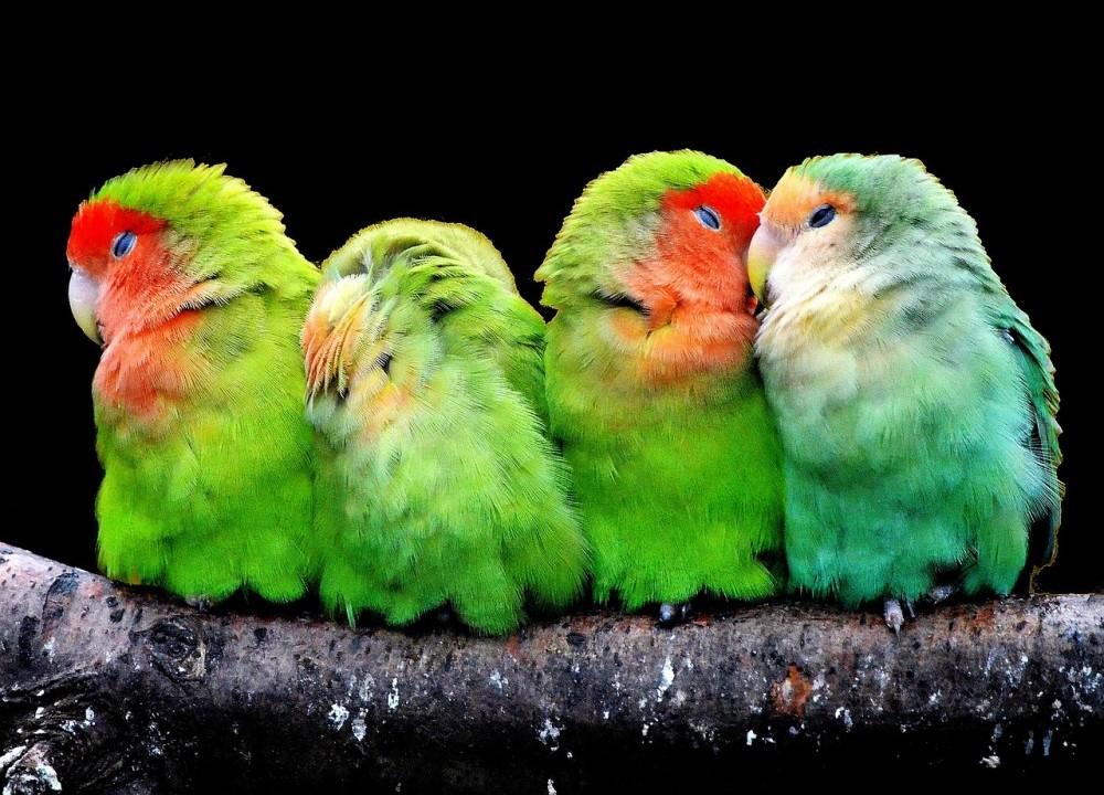 Loros canarios