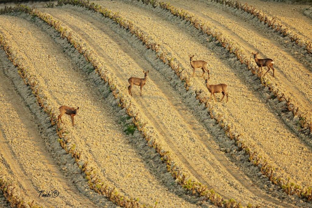 Ciervos entre viñas de La Rioja. Vicente Quintanal
