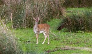 Ciervo común en el Parque de Doñana (Huelva). Por Diego Delso.