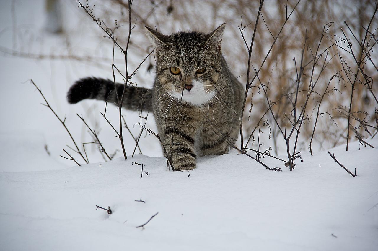 fauna_gato_nieve